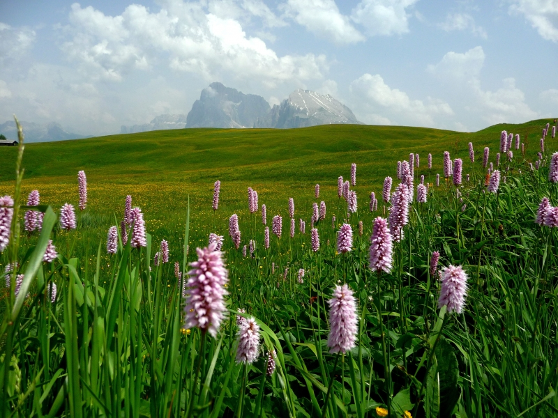 Alpe Di Siusi Wildflowers
