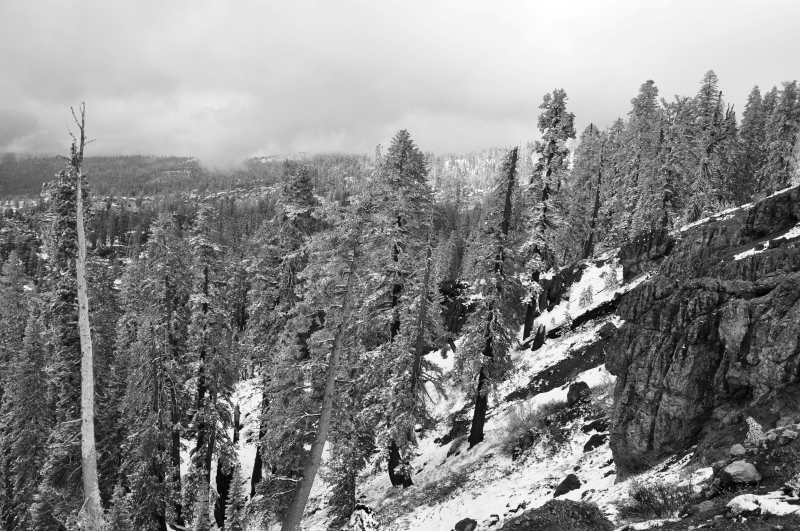 Snow Dusts Trees In High Sierra.