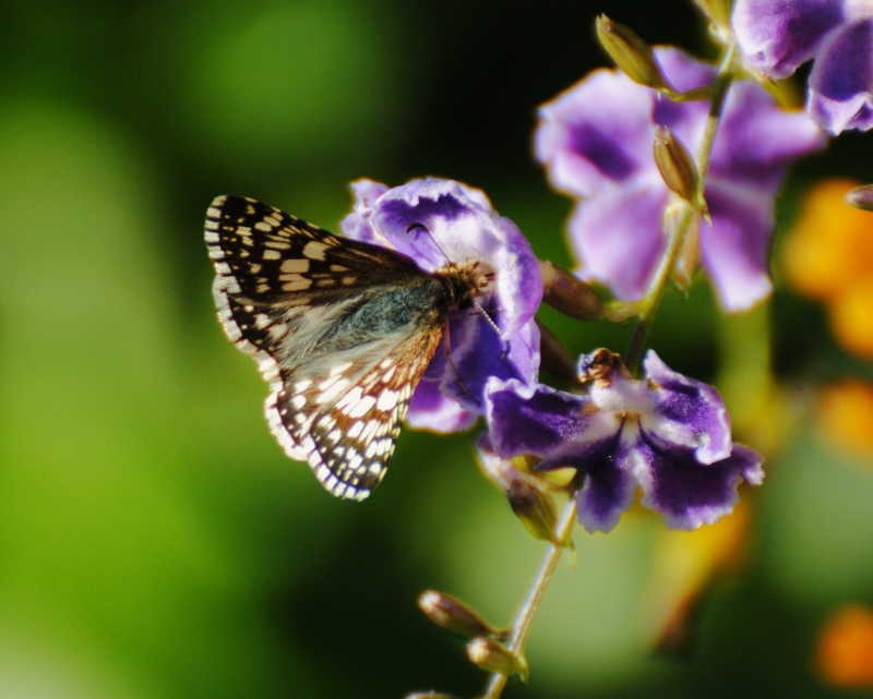 Butterfly On Duranta Blooms