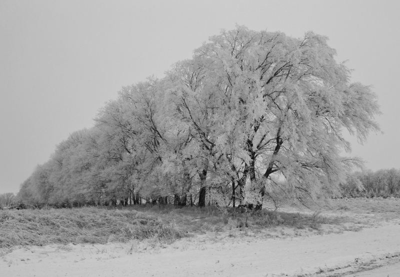 Frosted Country Trees