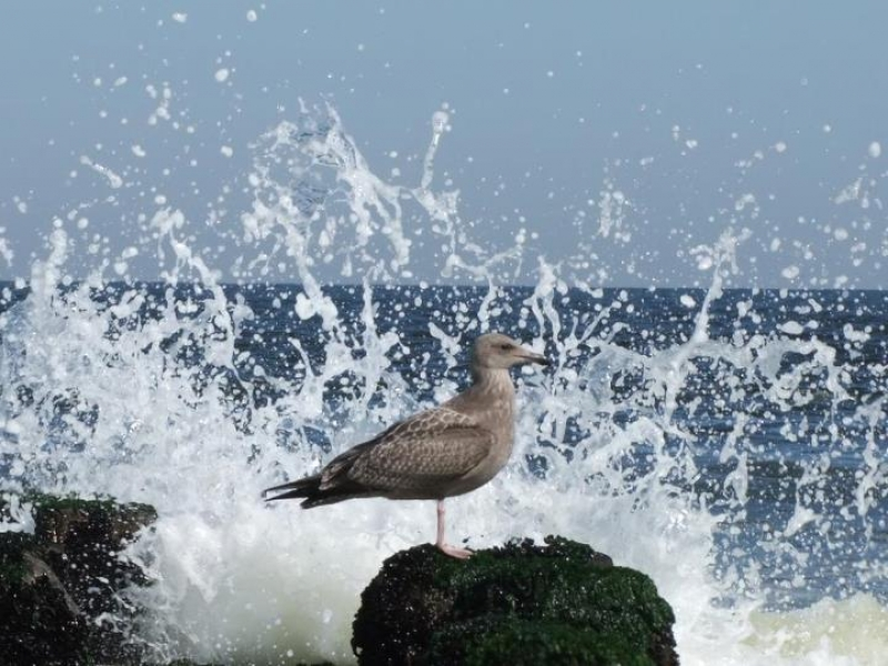 Gull Splashed By Wave