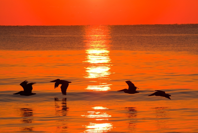 Pelican Sunrise