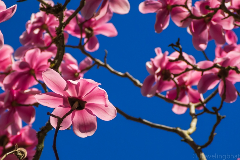 Magnolia Blooms In The Sky