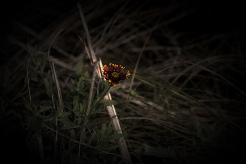The Red And Yellow Weed Flower