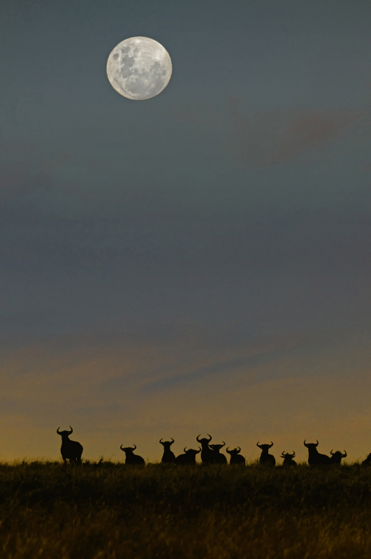 Wildebeest Moonrise