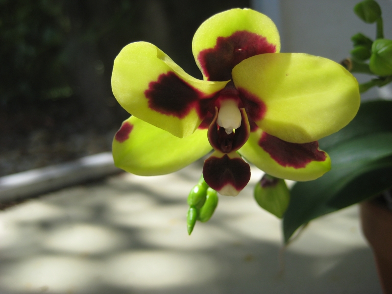 Orchid On The Porch Of Light And Shadows