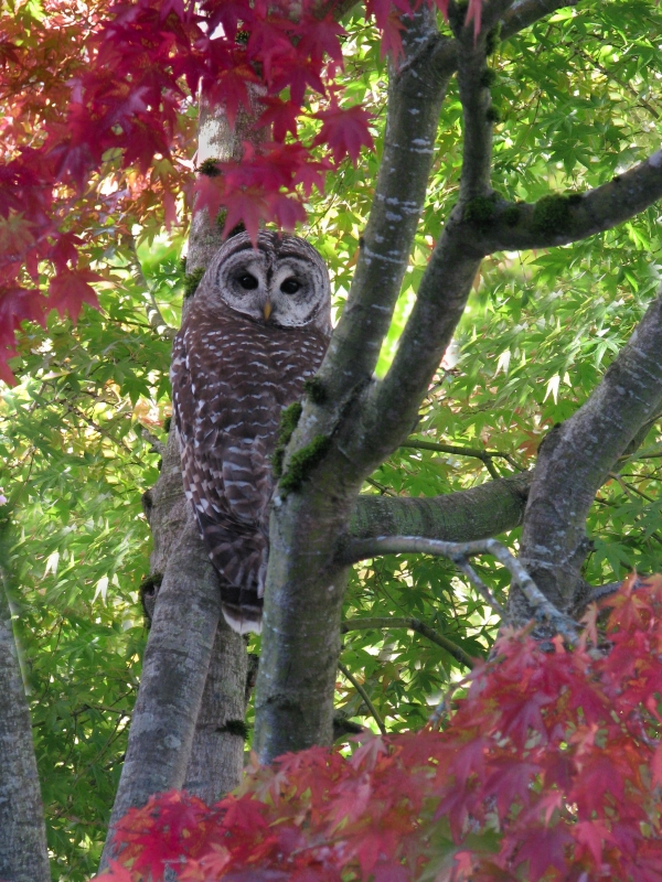 Barred Owl And Maple Leaves – Happy Thanksgiving!