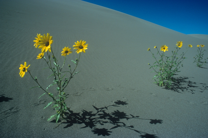 Sunflowers And Sand
