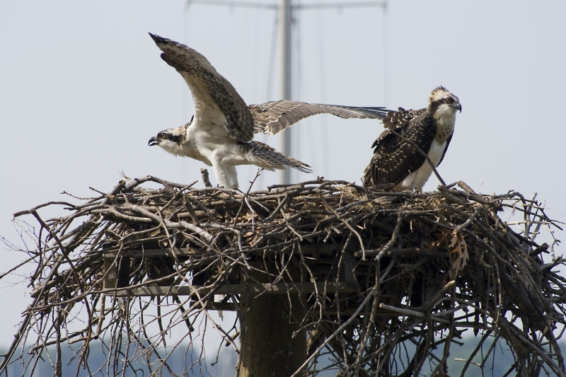 Ospreys, Colonial Beach, Va