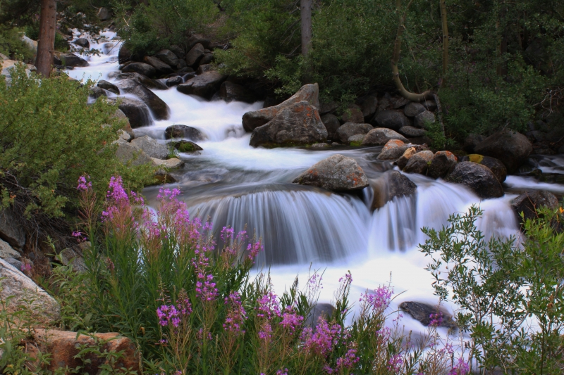 Fireweed On The South Fork
