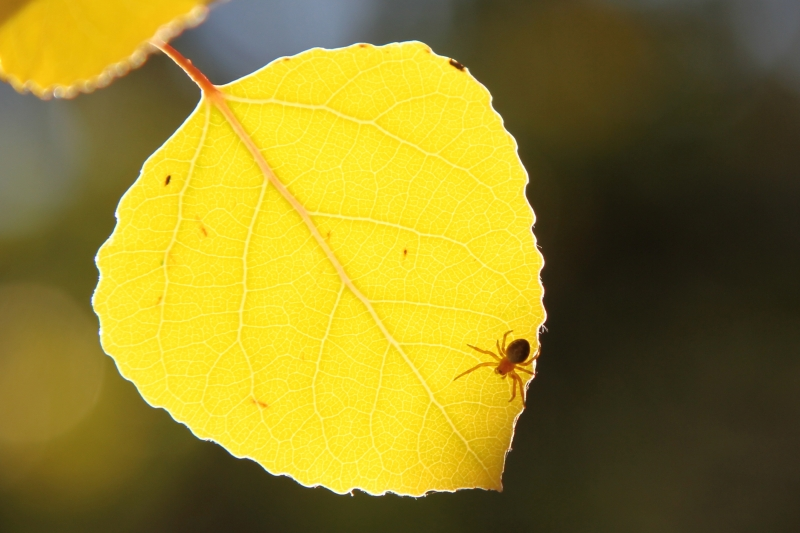 Spider On An Aspen Leaf