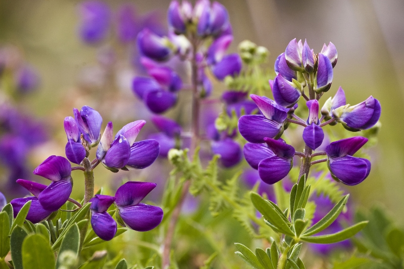 Lovely Lavender Lupines