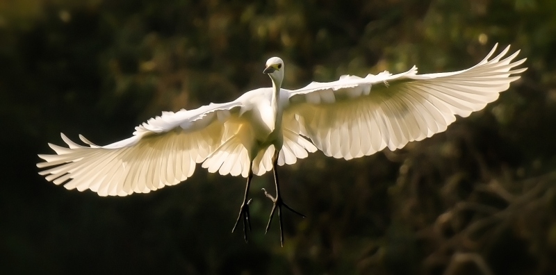 Magneficent Wings Of Great Egret