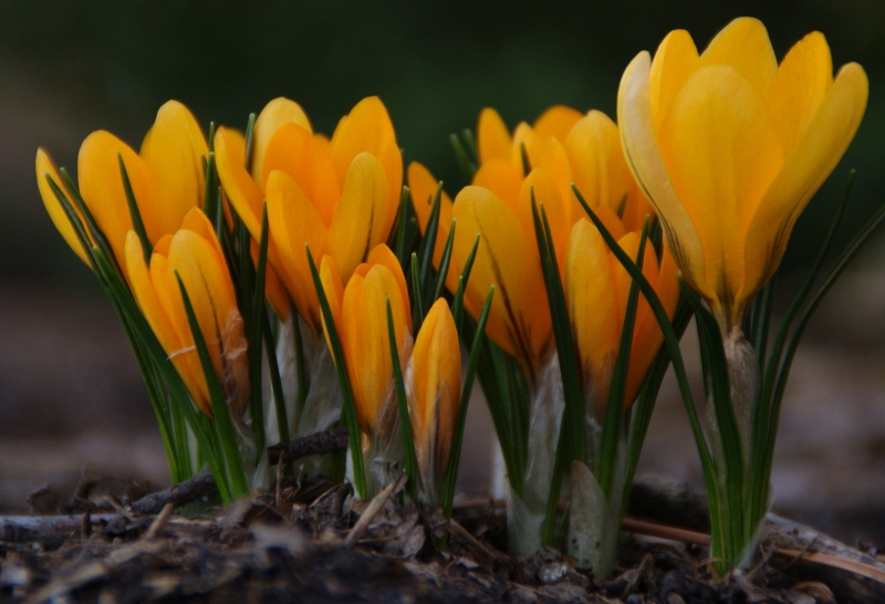 Crocus Buds And Blooms