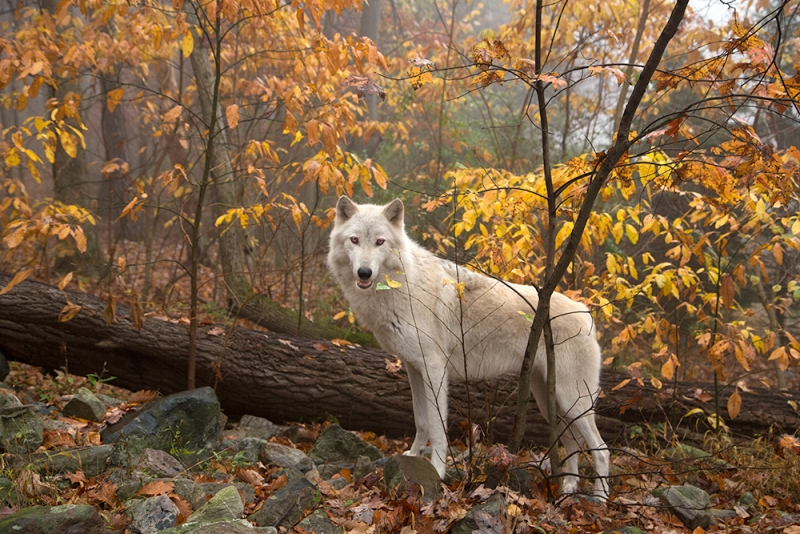 Wolf In Autumn Woods