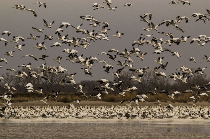 Snow Geese Heaven