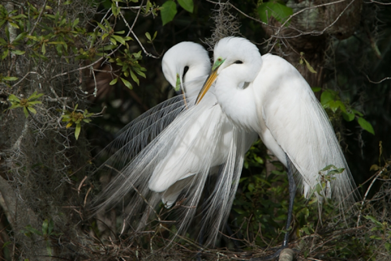 Mating Egrets.