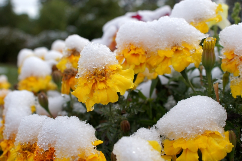 Frosty Marigolds