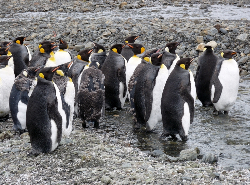 King Penguins In Distress