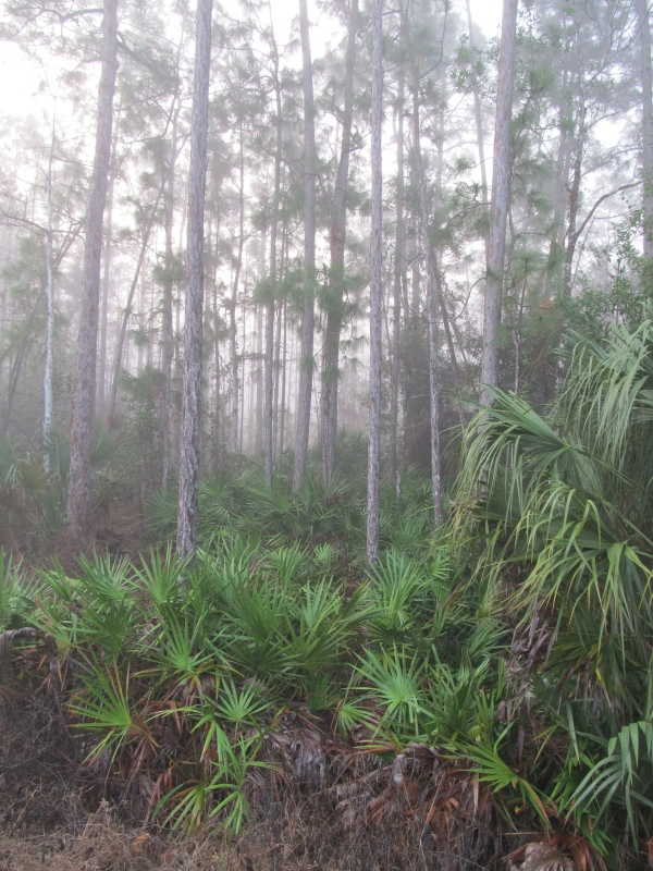 Fog In The Pine Flatwoods