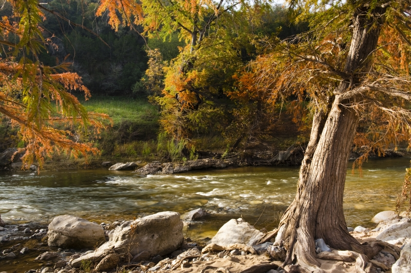 Cypress Tree And The Pedernales River