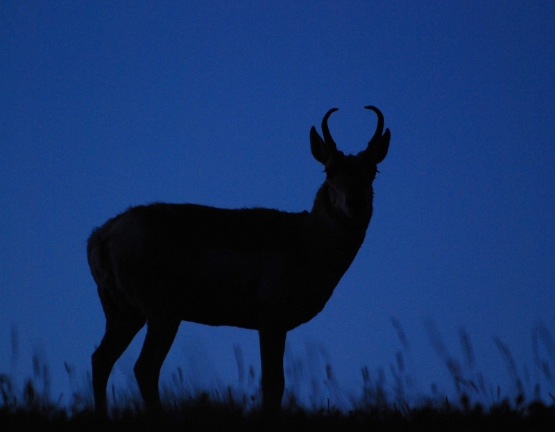 Pronghorn Silhouette