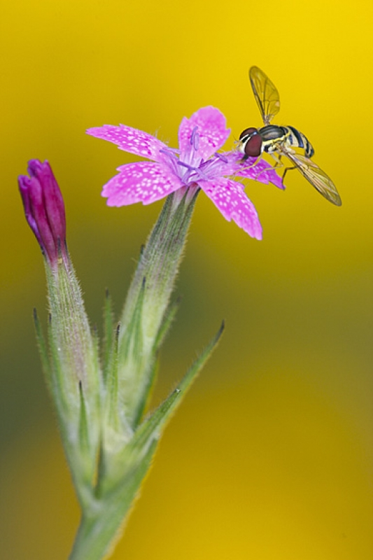 Hoverfly On Depford Pink