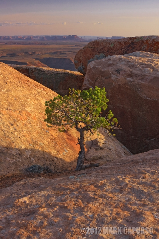 Lone Pine At Muley Point