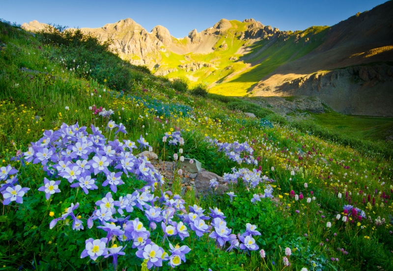 Columbine And Wildflowers In High Altitude Basin