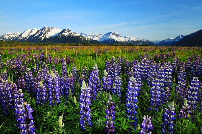 Lupine And The Chugach Mountains, Alaska