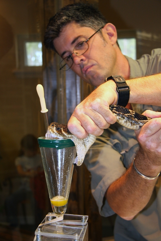Extracting Venom From An Eastern Diamondback Rattlesnake
