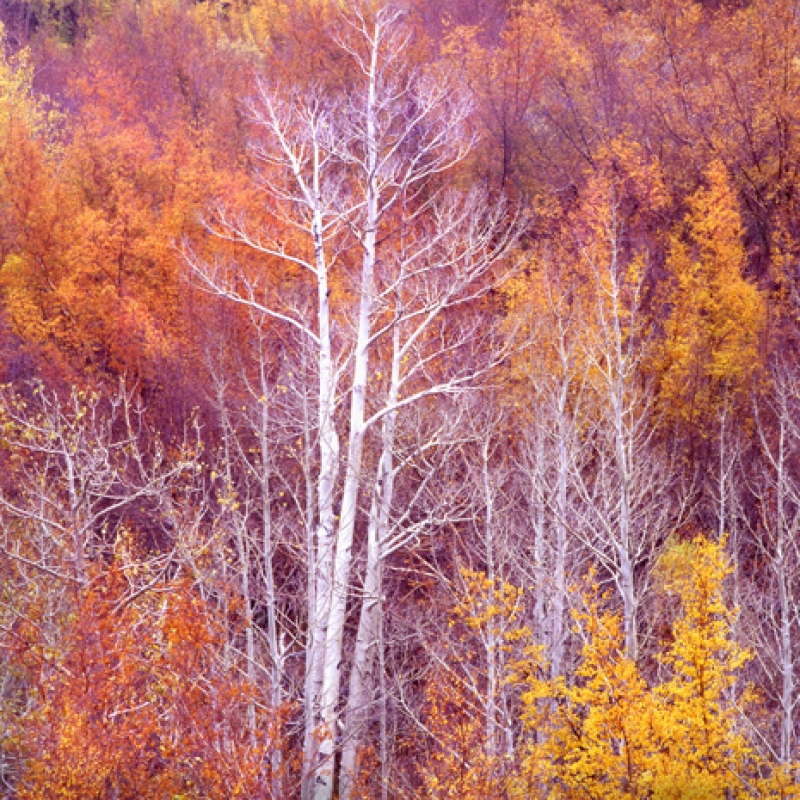 Aspens – Bishop Creek