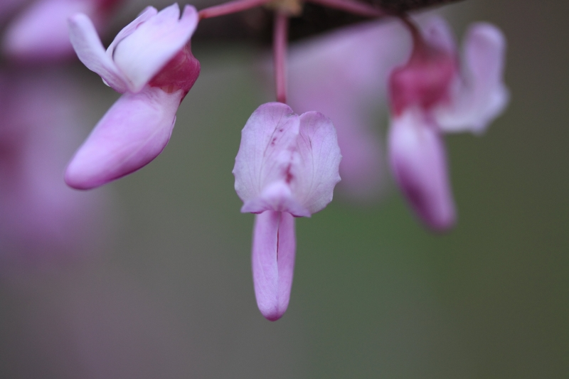 Native Kentucky Redbud Tree Bloom