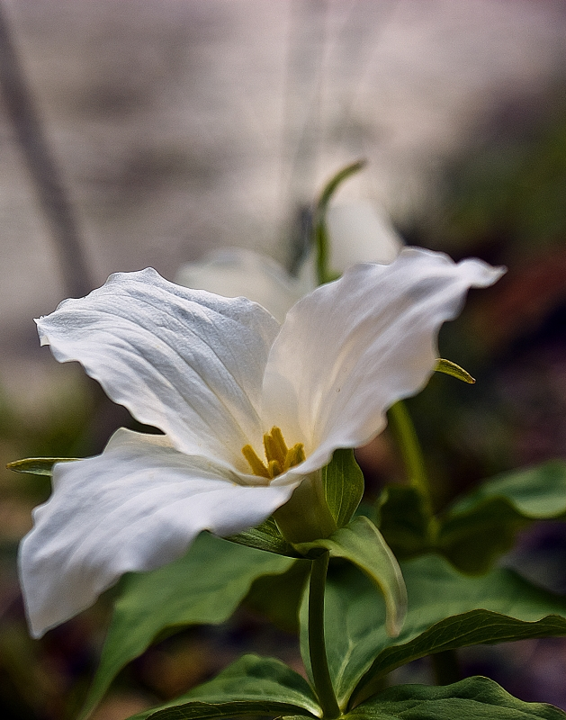 The First Found Trillium.