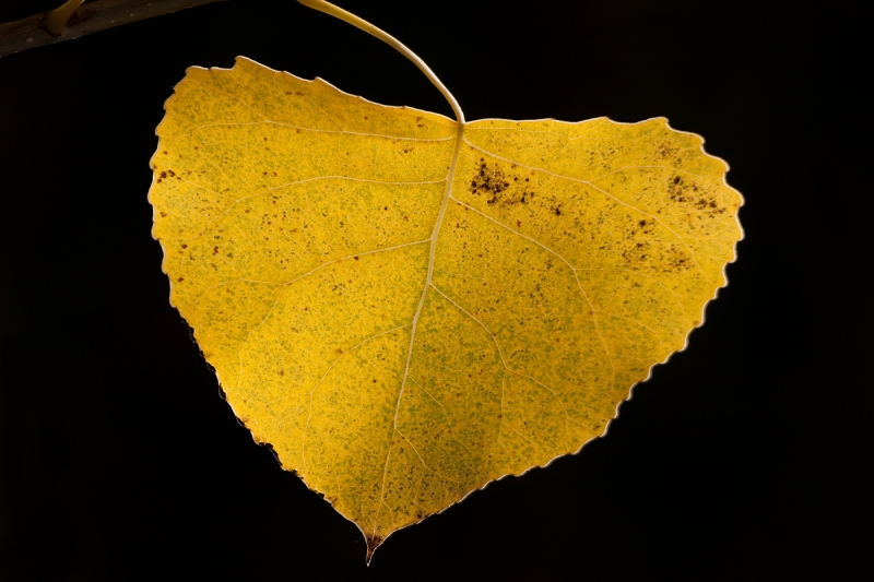 Backlit Cottonwood Leaf