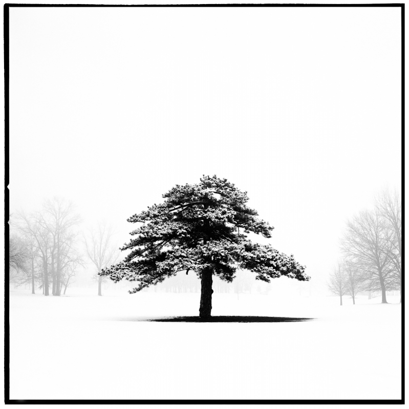 Lone Tree, Forest Park, St. Louis Mo