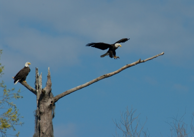 Bayou Black Eagle Pair