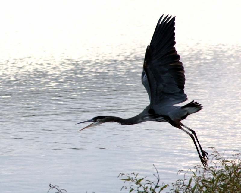The Great Blue Heron Flies