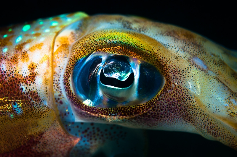 Sepioteuthis Lessoniana – Big Fin Reef Squid Eye