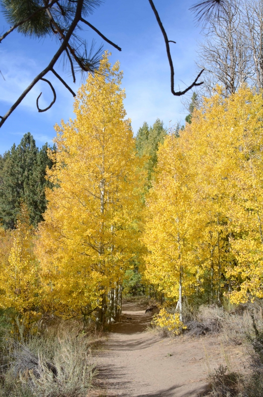 Aspens Turning To Gold