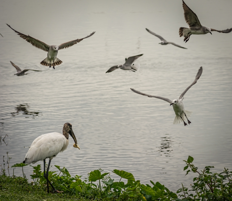 The Seagulls And The Wood Stork