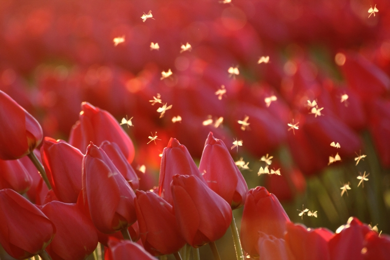 Fairies In The Tulip Fields