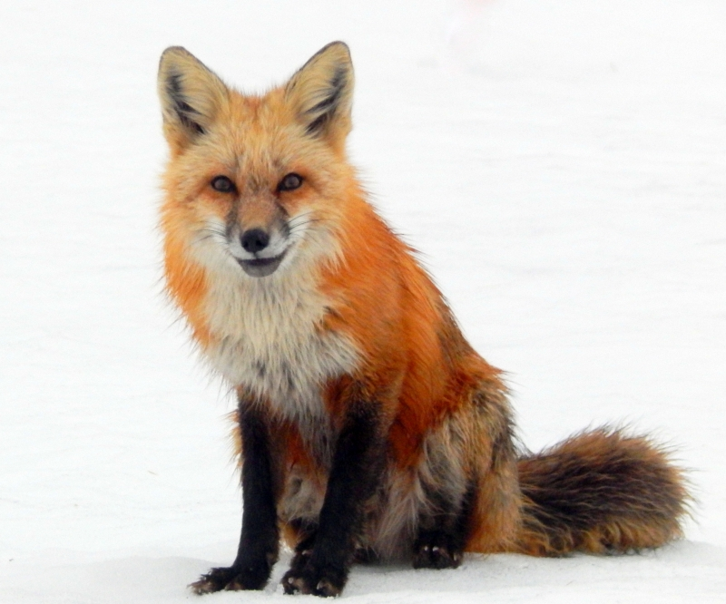 Portrait Of A Fox