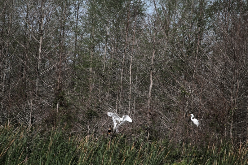 Great Egret Mating Season