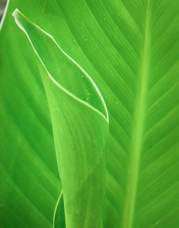 Leaves Canna Lily