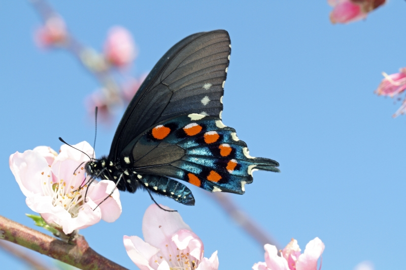 Butterfly On Peach Bloom