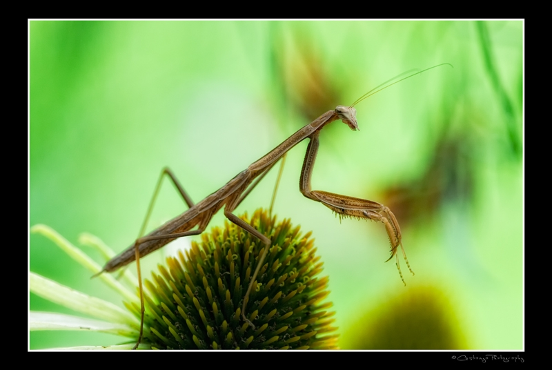 Praying For Mantis