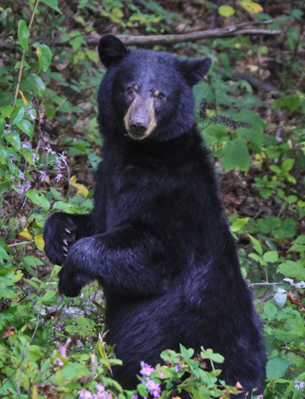 Black Bear Of The Shenandoah