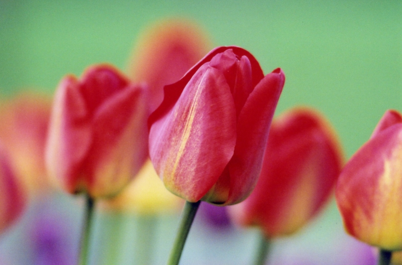 Tulips In Sherbet Tones