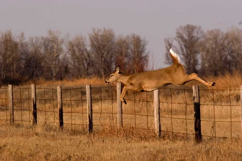 Doe Over Fence